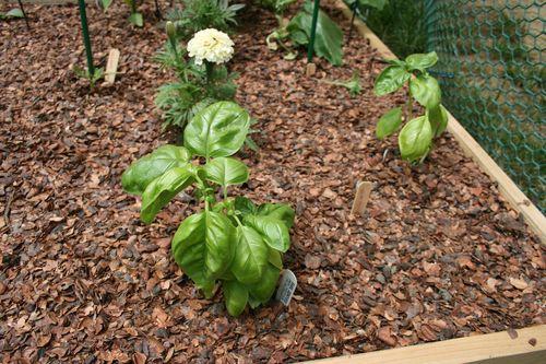 photo: basil plant