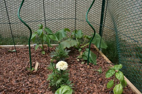 photo: raised garden bed with zucchini plant