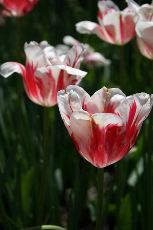 photo: red and white tulips in a field